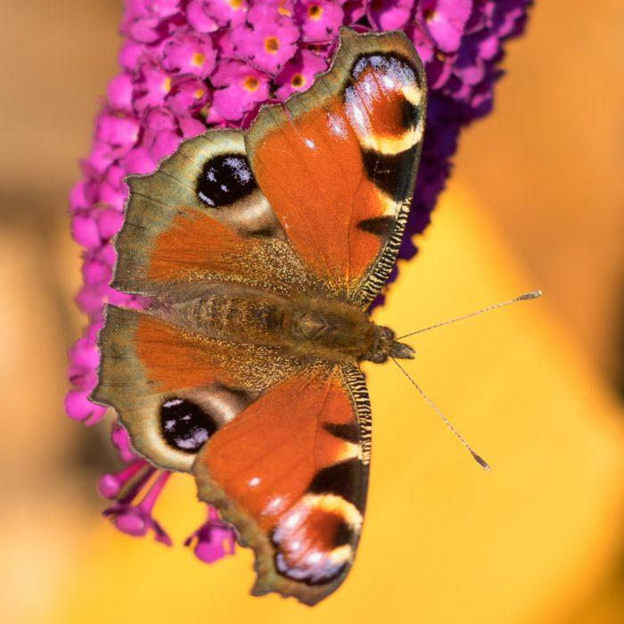 Schmetterlinge 2016 (1 von 2)